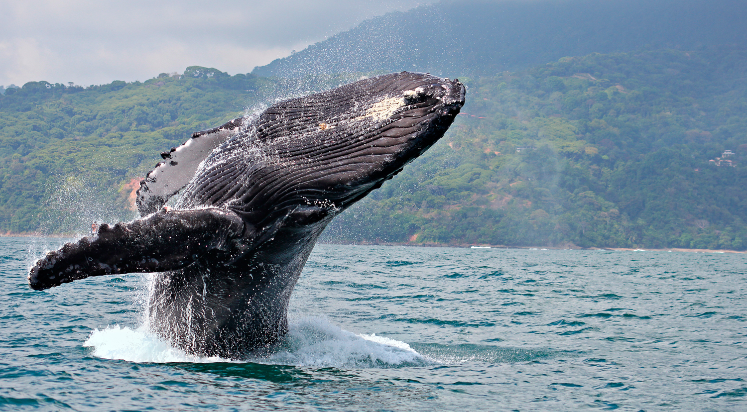Annual Whale Watching Festival, Dolphins, Turtles and More in Ballena National Marine Park